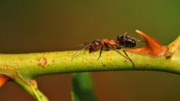 Cómo se usa el ácido bórico para las hormigas