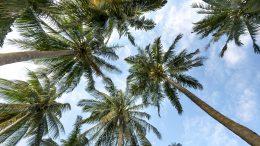 Características de las palmeras