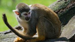 Cuál es el hábitat del mono araña