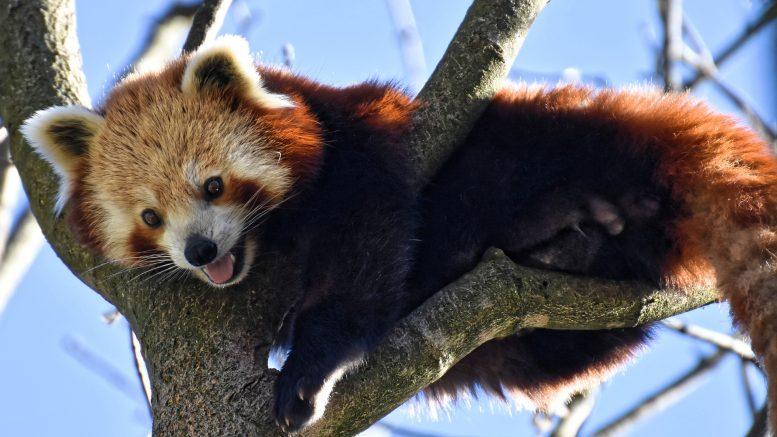 Cuál es el panda rojo