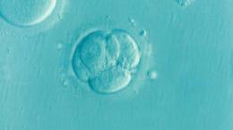 Cuál es el proceso de desarrollo embrionario