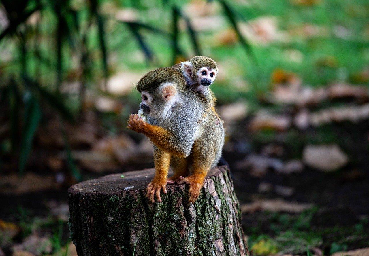 Mono araña y su bebé