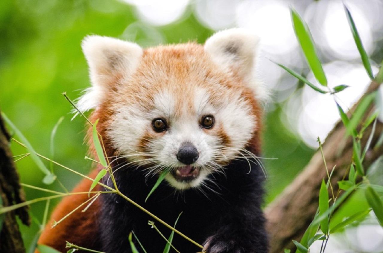 Panda rojo adulto