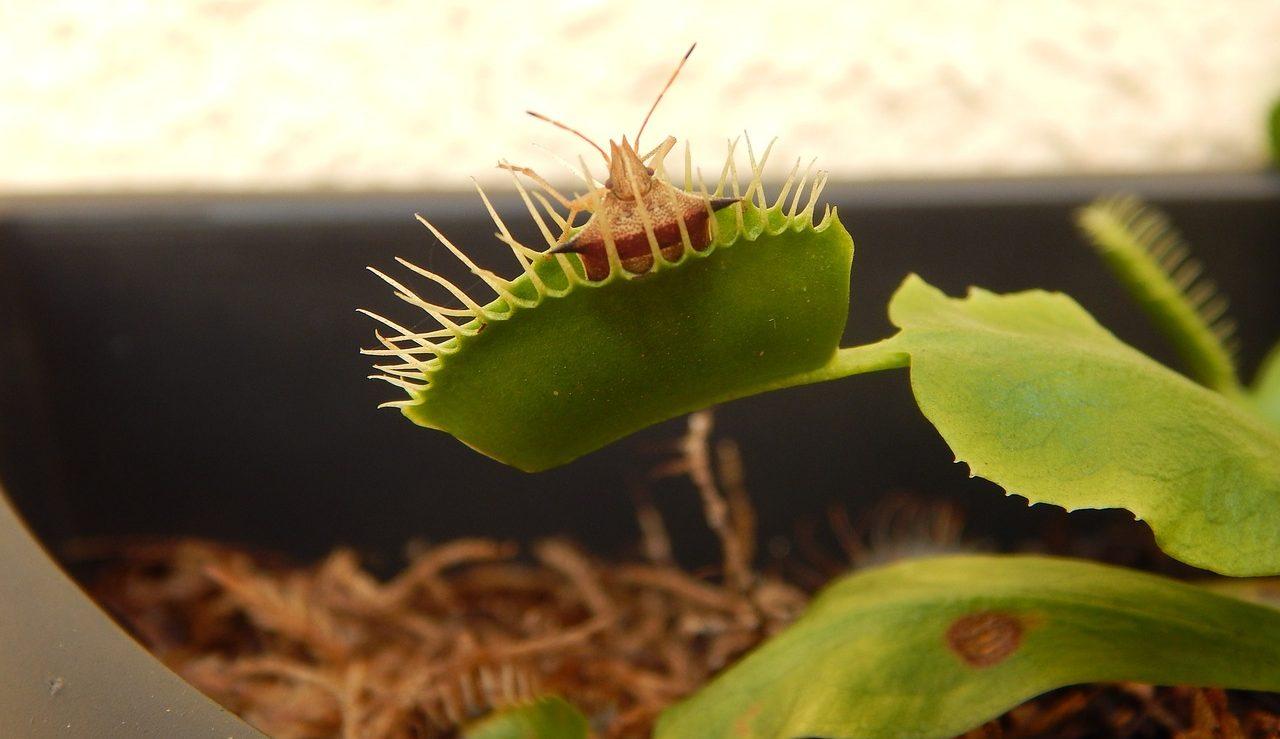 Planta carnívora alimentándose