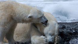 Qué son los osos polares