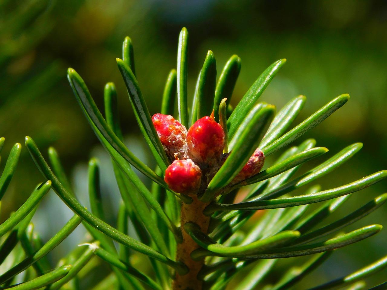 Plantas gimnospermas