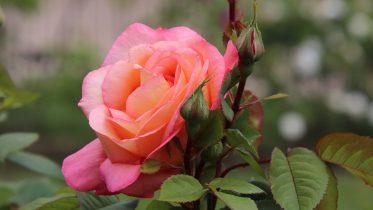 Cuáles son los tipos de rosas que existen